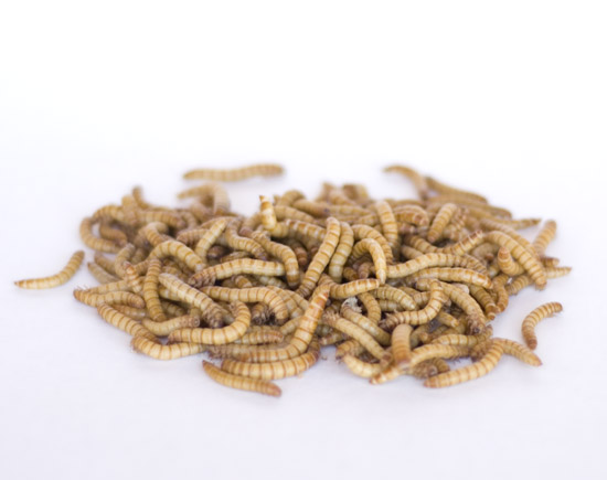 Bubba 39 s bait barn bait worms for Mealworms for fishing